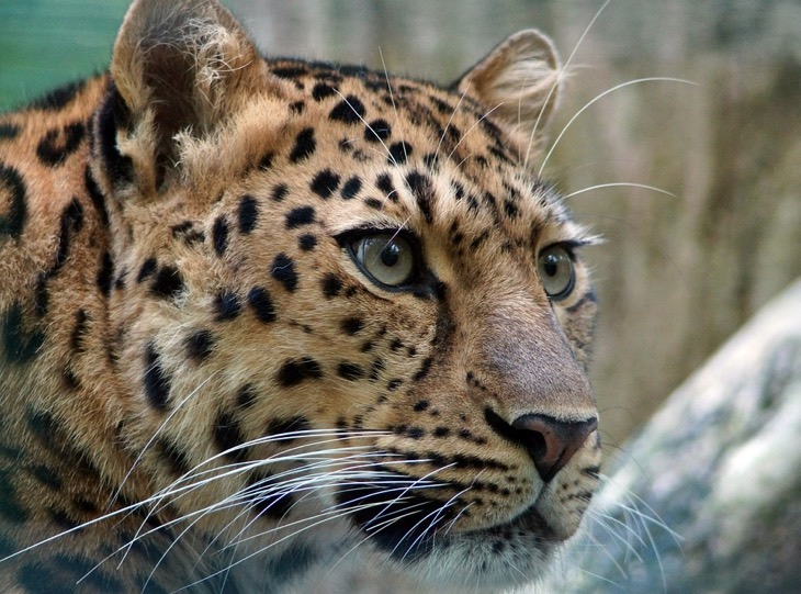 leopard vladivostok