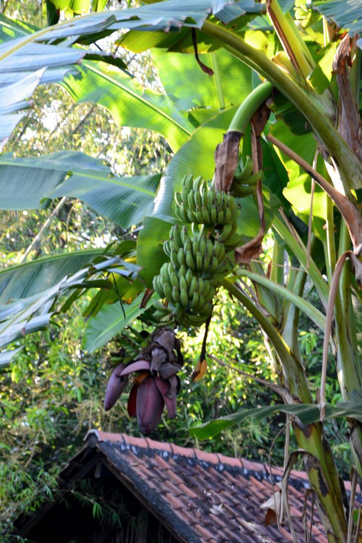 banana tree bali