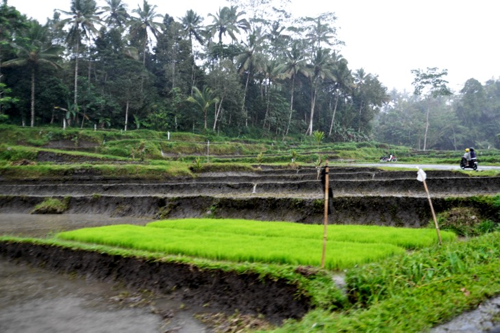 rice fields rain