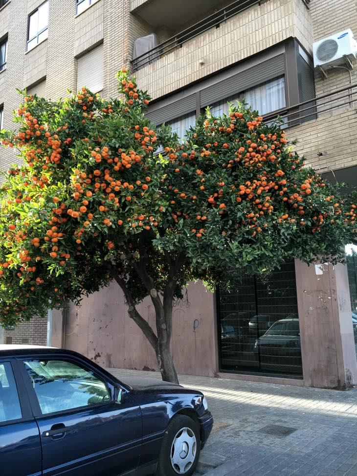 валенсия апельсиновое дерево