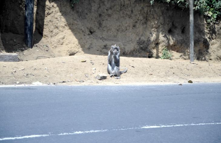 wild monkey bali