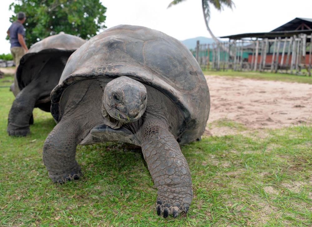 tortoise indian ocean