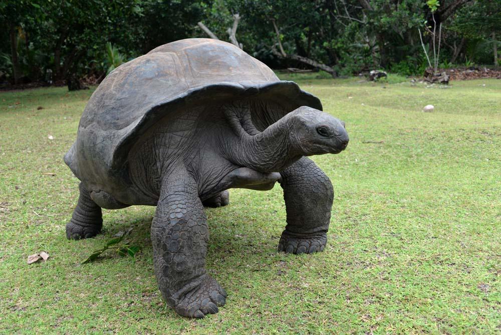 черепахи индийский океан