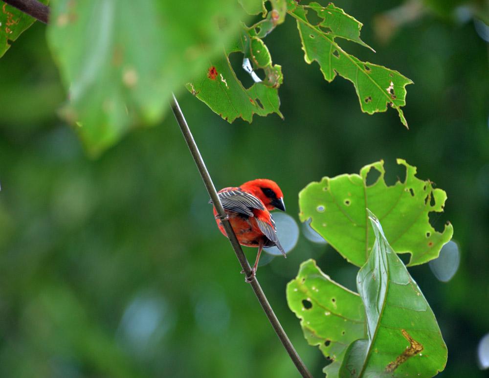 красная птица сейшелы