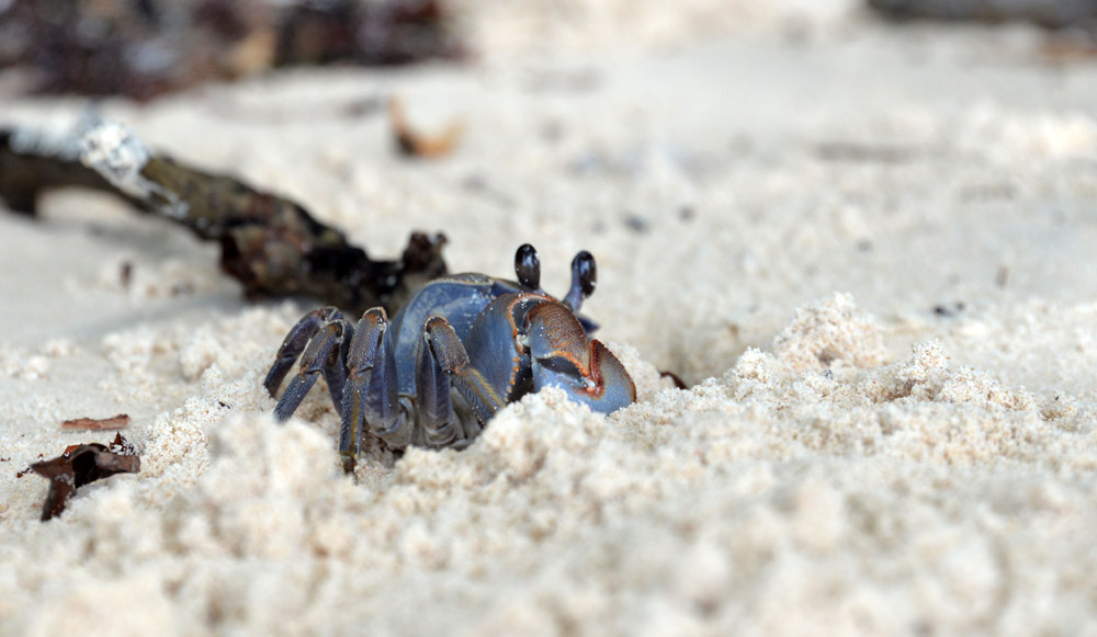 sand crab curieuse