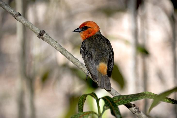 birds mauritius