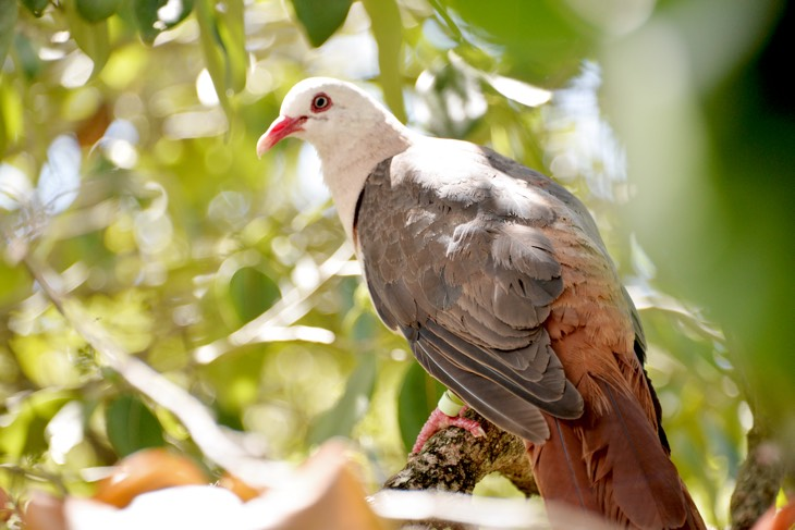 pink pigeon mauritius