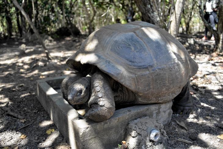 tortoise mauritius
