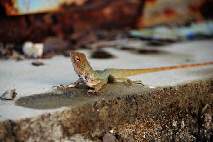 gecko mauritius