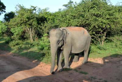 слоны дороги шри ланки
