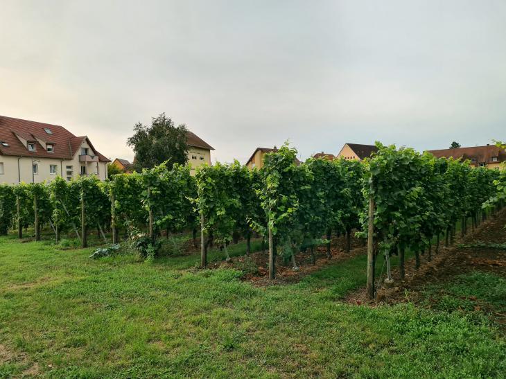 вино эльзас